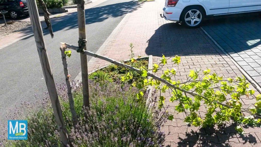 An der Heinestraße in St. Arnold wurden mutwillig Bäume umgeknickt. | Foto: Ordnungsamt
